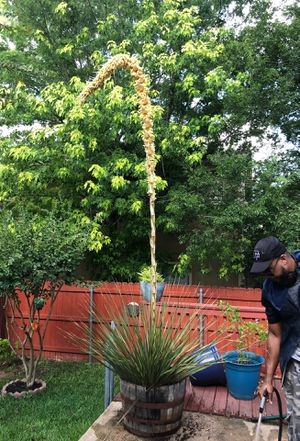 Yucca full grown for Sale in San Antonio, TX