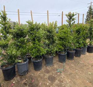 Privacy shrubs 15 gallons waxleaf privet for Sale in Perris, CA