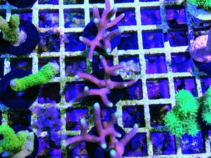 Pink Green Tip Bird-nest Frags for Sale in Hialeah, FL
