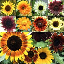 Sunflower Crazy Mixture 15+ Varieties 1000+ Seeds Garden Plants for Sale in Los Angeles,  CA