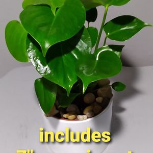 Real Monstera split Leaf Plant Includes Ceramic Pot Perfect For 🏠🎁😊 for Sale in Garden Grove, CA