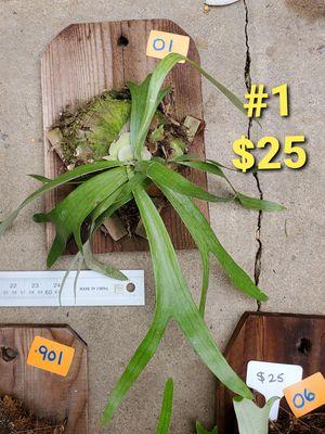 $25 Staghorn Ferns , Stag Horn, Elkhorn, Elk Horn, garden, greenery, ferns, potted, plant, epiphytes for Sale in San Diego, CA