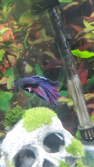 Male Betta for Sale in Arvada, CO