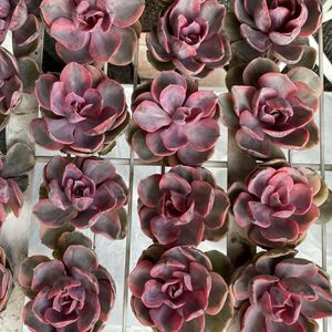 Echeveria Rainbow for Sale in Alhambra, CA