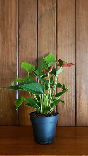 Flamingo plant for Sale in Acworth, GA