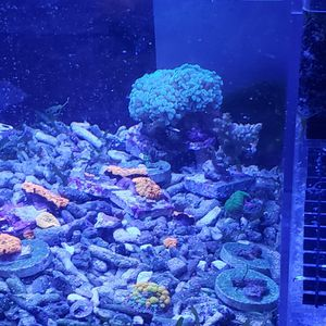Hammer Coral for Sale in Huntington Park, CA