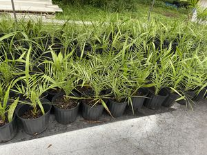 Phoenix Sylvester Palms: 3 gal pots for Sale in Homestead, FL