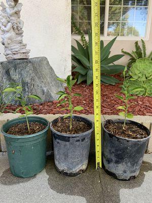 ORANGE FRUIT TREES FOR SALE $10 for Sale in Hacienda Heights, CA