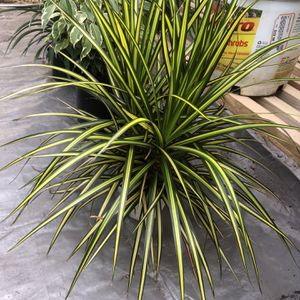 dracaena for Sale in South Gate, CA