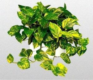 "Golden Pothos Hanging - In 6"" Pot / Live Plant for Sale in Apopka, FL"