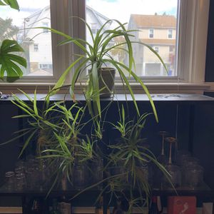 Mature Spider Plant With Ceramic Pot for Sale in Wyncote, PA