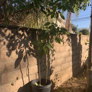 Avocado Tree for Sale in Covina, CA