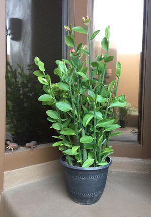 Lady Slipper Succulent for Sale in Scottsdale, AZ