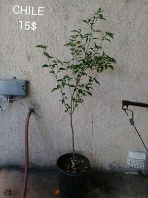 Planta de chile de arbol. Plant. for Sale in Los Angeles, CA