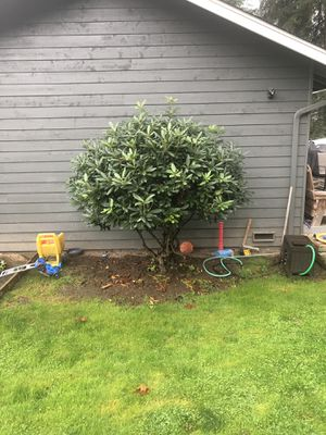 Free Rhododendron tree for Sale in Bothell, WA