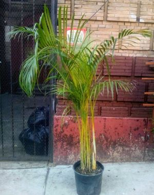 Palm tree for Sale in The Bronx, NY