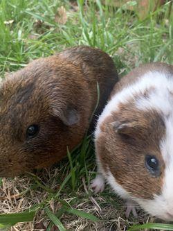 Guinea pigs for Sale in Norcross,  GA