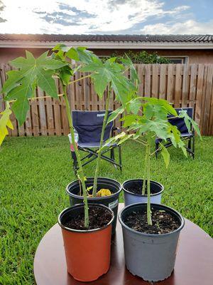 Papaya Tree for Sale in Pompano Beach, FL