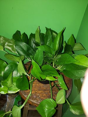 Jade pothos for Sale in Clinton, MD