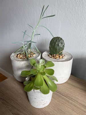 Succulent Trio with custom concrete pots for Sale in San Francisco, CA