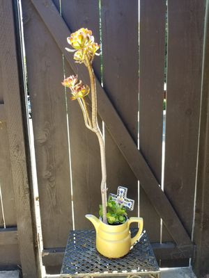 Succulent in Tea Pot for Sale in Fresno, CA
