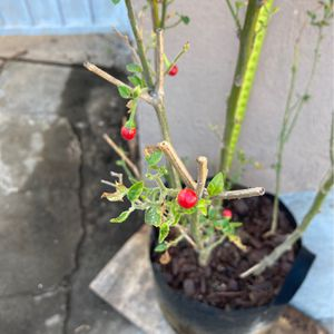 Chili Plant for Sale in Los Angeles, CA