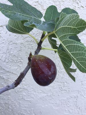 Fig Tree, Brown Turkey for Sale in Modesto, CA
