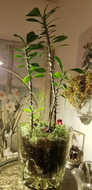 Rare Red Flowering Crown of Thorns indoor Plants (4) for Sale in Federal Way, WA