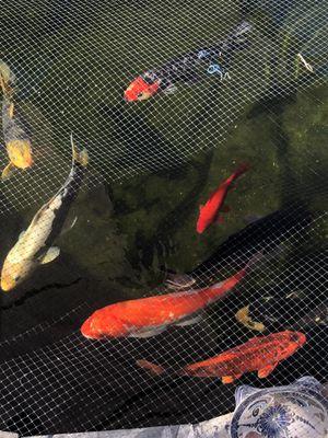 Koi fish for Sale in San Dimas, CA