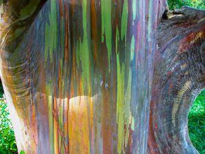Live Rainbow Gum/Eucalyptus Trees 6 To 8 Feet Tall 7 Gallon for Sale in Myakka City, FL