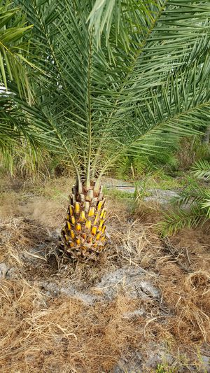 Palm trees field grown for Sale in Fort Pierce, FL