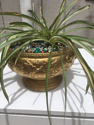 Spider plant for Sale in San Jose, CA