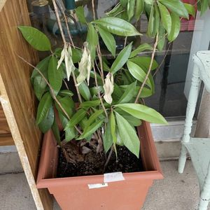 Real Plant for Sale in Saint Robert, MO