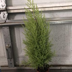 Lemon Cypress Christmas Tree for Sale in Turlock, CA