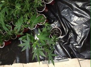 Rooted Clones for Sale in Denver, CO
