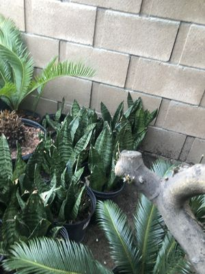 Snake plant for Sale in Santa Ana, CA