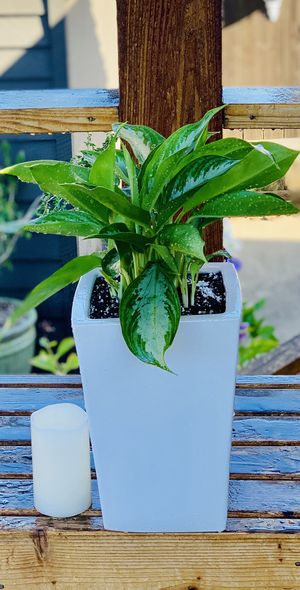 Live indoor Aglaonema (Chinese Evergreen) houseplant in a ceramic planter flower pot—firm price for Sale in Seattle, WA