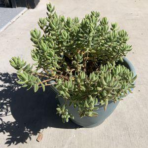 Succulent plant for Sale in Stockton, CA
