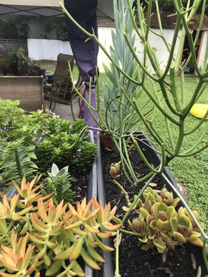 Plant clippings ONLY for Sale in Altamonte Springs, FL