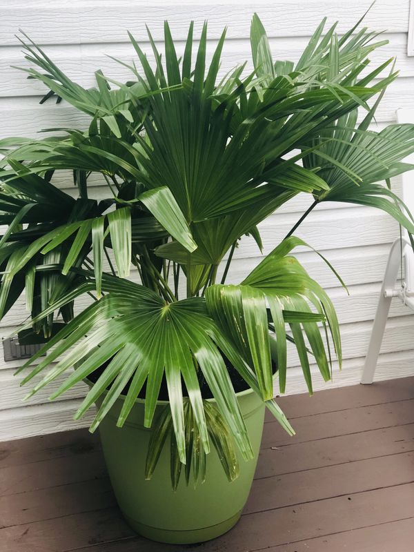 Palm with pot