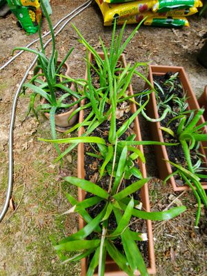 Aloe, Spider Grass, Succulents, and More 1-8 dollars each for Sale in Roswell, GA