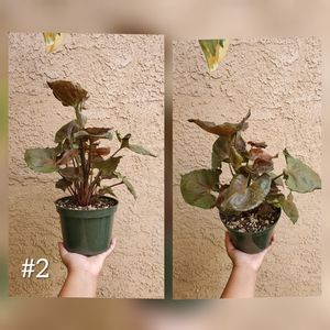 Syngonium Podophyllum Maria Plant for Sale in Westminster, CA