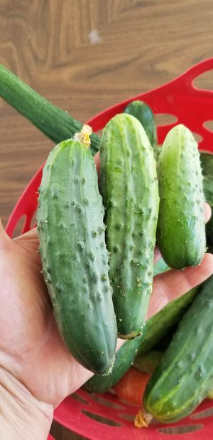fresh organic cucumbers on sale pound $3 for Sale in Aurora, CO