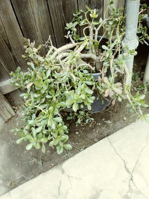 Succulent plant for Sale in Stockton, CA