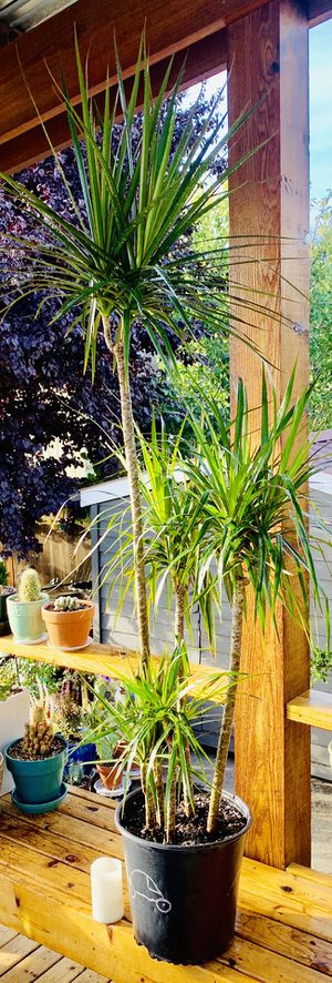 Live indoor Marganita Dracaena house plant in a temporary plastic planter flower plot—firm price for Sale in Seattle, WA