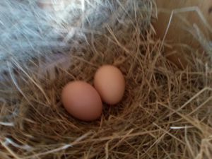 4 +1 extra Fertile light Brahma eggs for Sale in Scurry, TX
