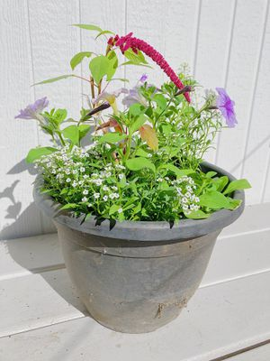 Petunia Pot with Amaranth Flower for Sale in Vancouver, WA