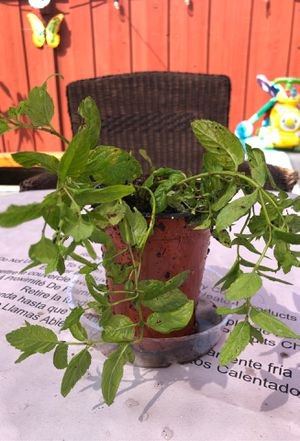 Mint- Yerba buena herbs for Sale in Fremont, CA