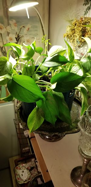 Pothos Indoor Plant for Sale in Federal Way, WA