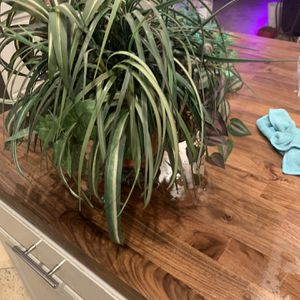 Fake Spider Plant for Sale in Mesa, AZ